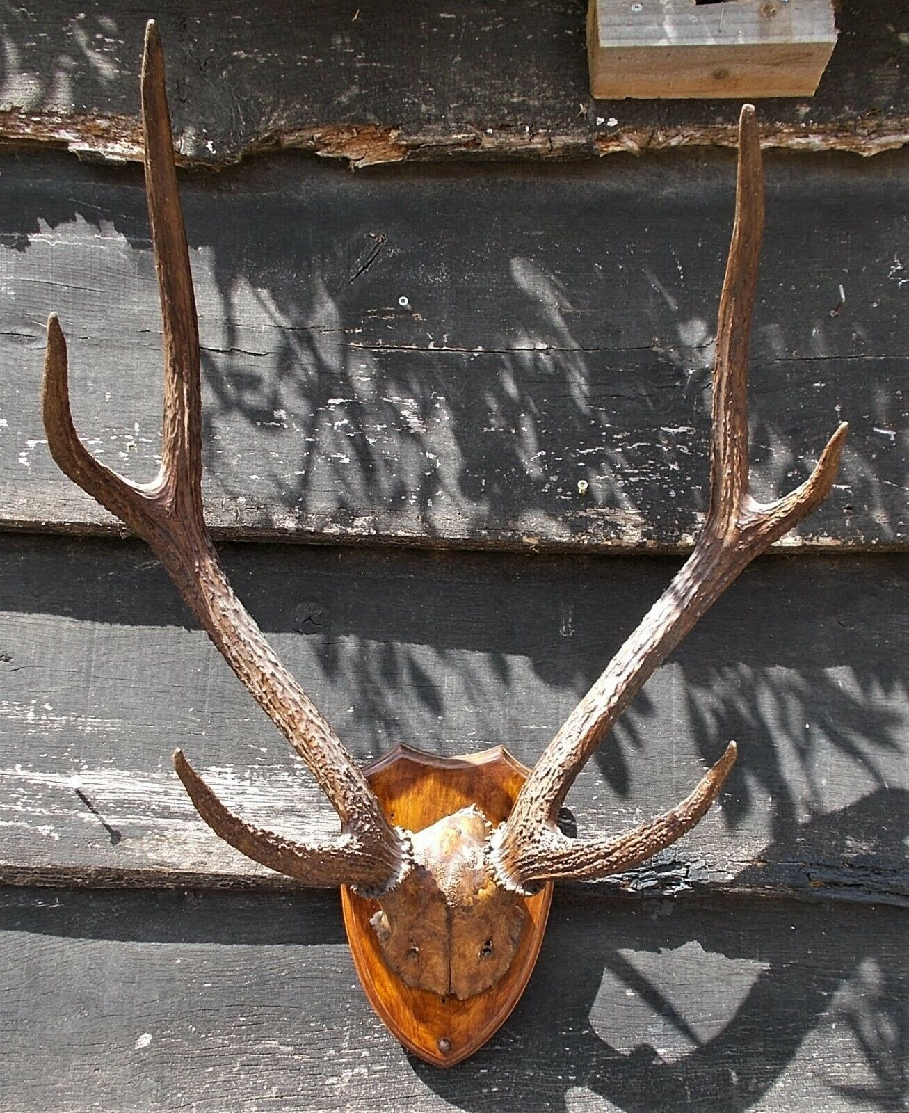 Large Set Of Stag Antlers Rack Horns Taxidermy Hunting