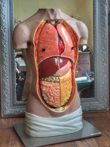 Vintage German Anatomical Torso Teaching Aid With Removable Organs