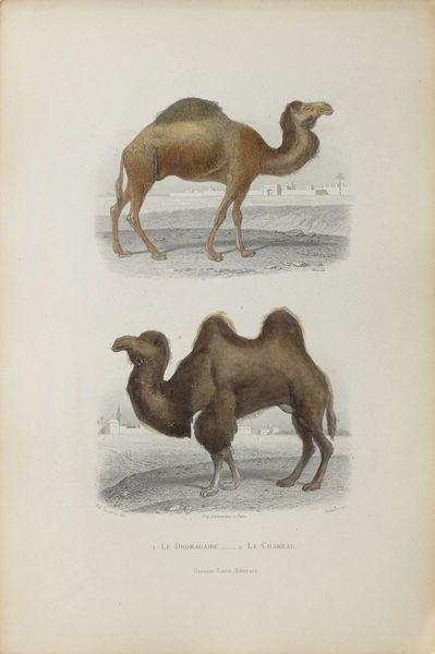 Buffon Illustré   Watercolor Lithograph   The Dromedary And The Camel