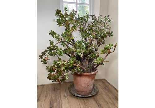 Huge Tall Green Money Thick Tree Jade Garden Home Plant Indoors Outdoors Living Sculpture